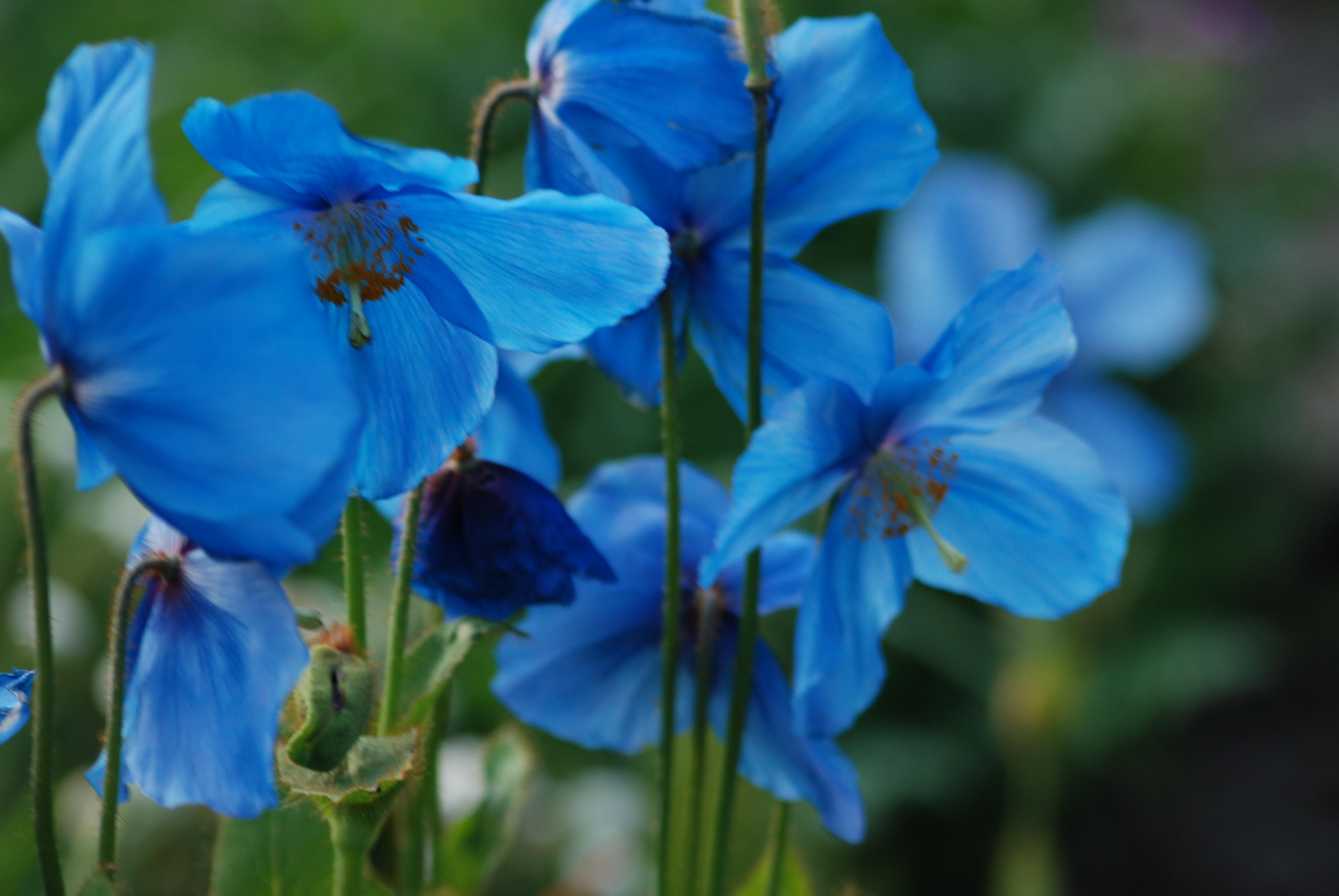 Meconopsis 'William Duncan'